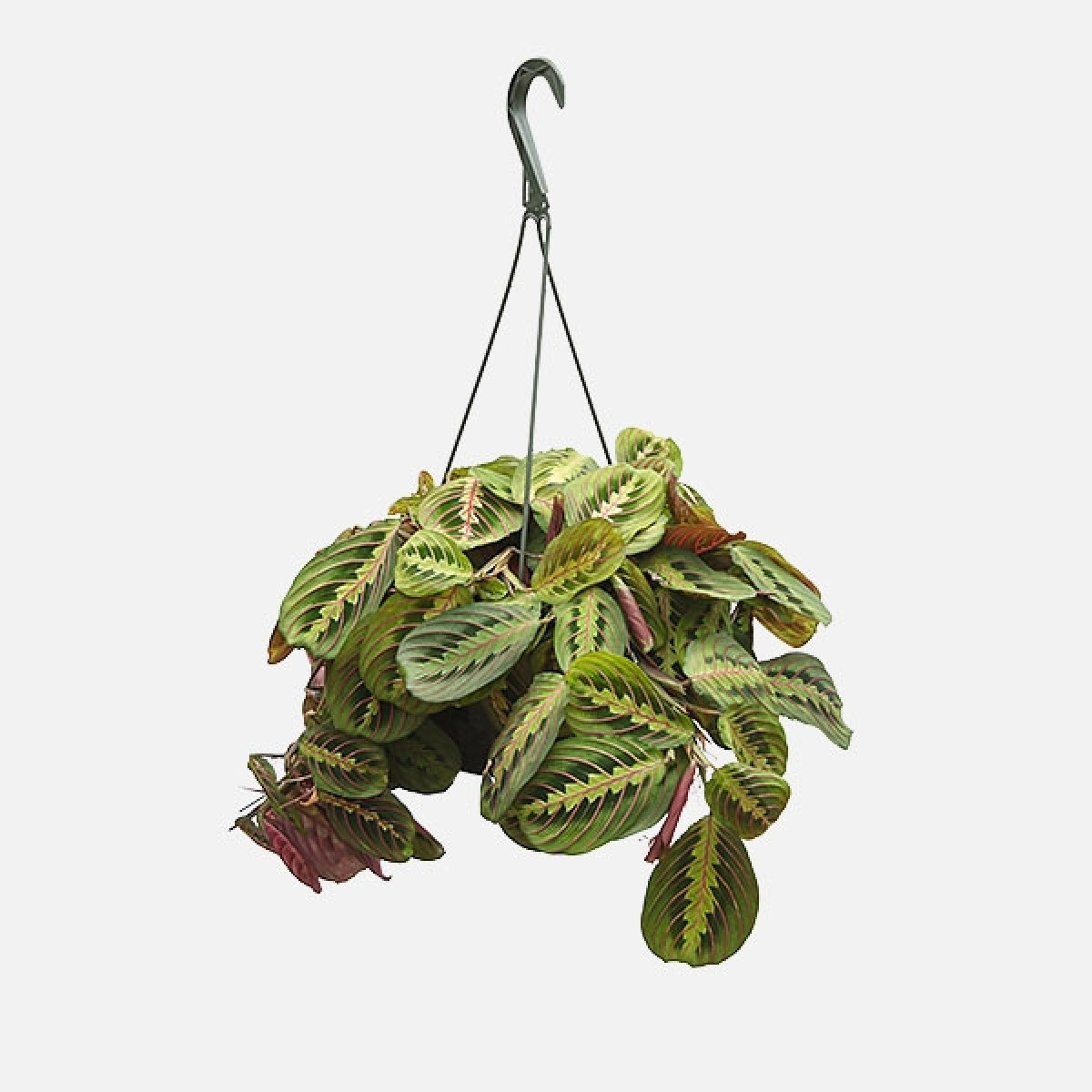 Hanging Prayer Plant