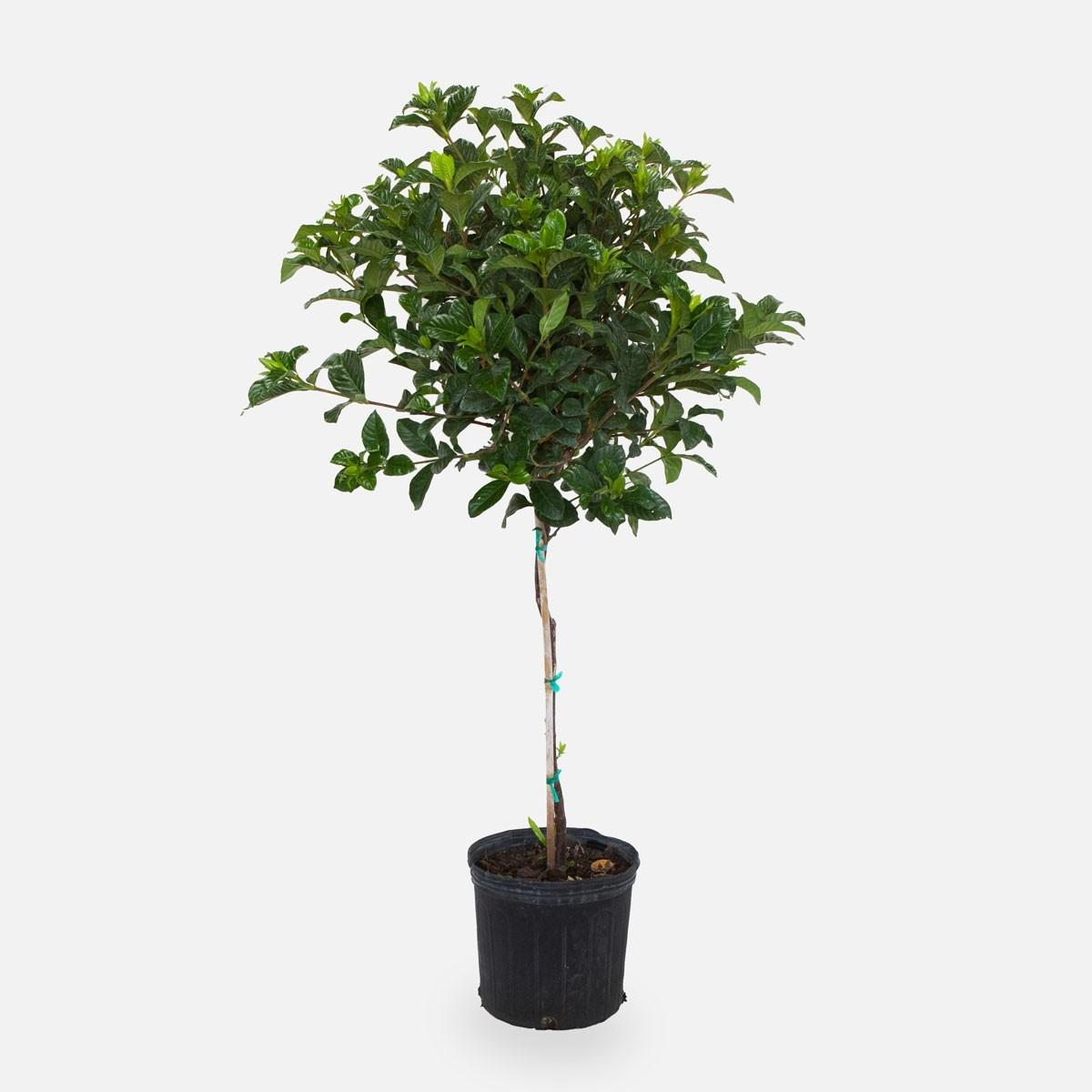 Gardenia Aimee Topiary 10 Plant Delivery Nyc Plantshed Com
