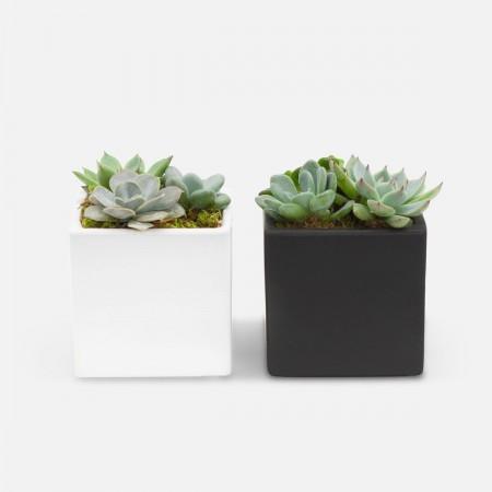 Succulent Garden Duo