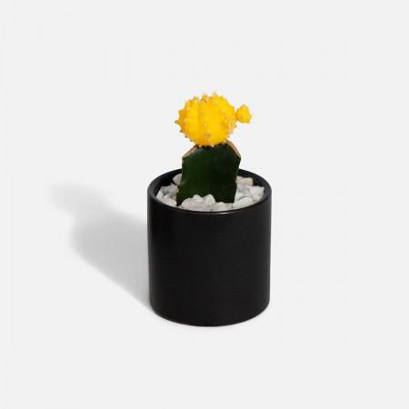 Moon Cactus - Yellow