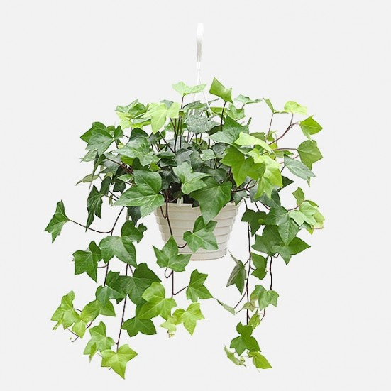 Hanging English Ivy - Plantshed.com