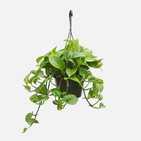 Hanging Golden Pothos Mother's Day