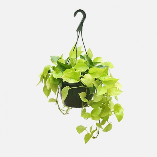 Hanging Neon Pothos Indoor Foliage Plants