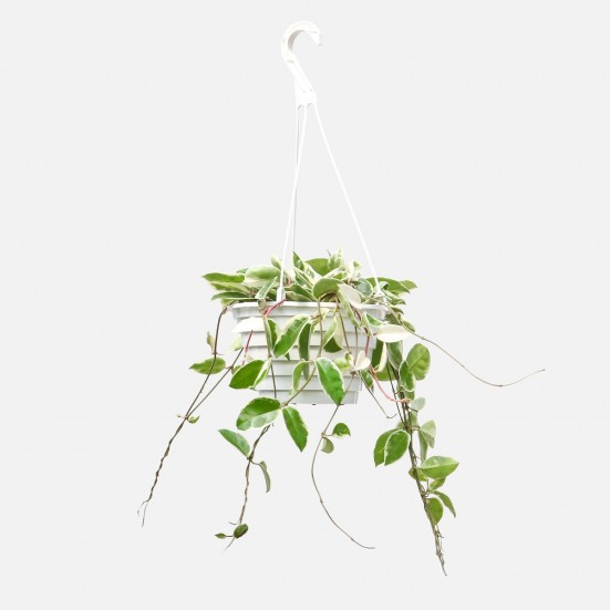 Hanging Hoya Plants