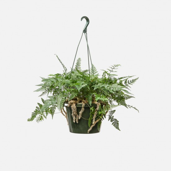 Hanging Rabbit Foot Fern Hanging Plants