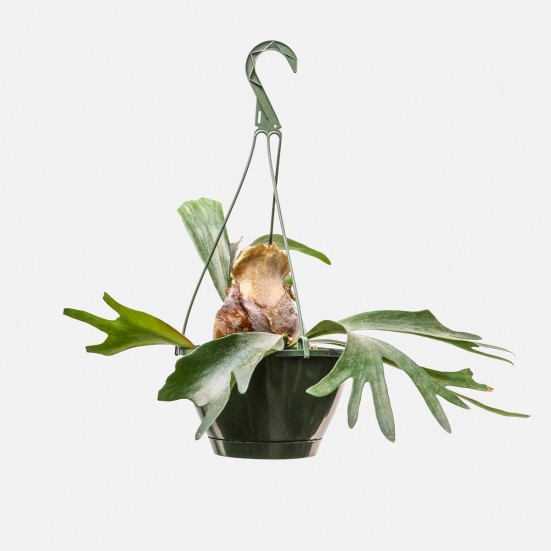Hanging Staghorn Fern Plants