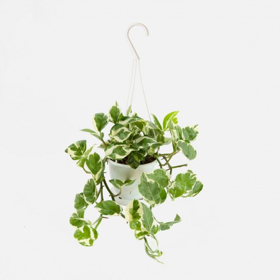 Hanging Pothos N Joy Indoor Foliage Plants