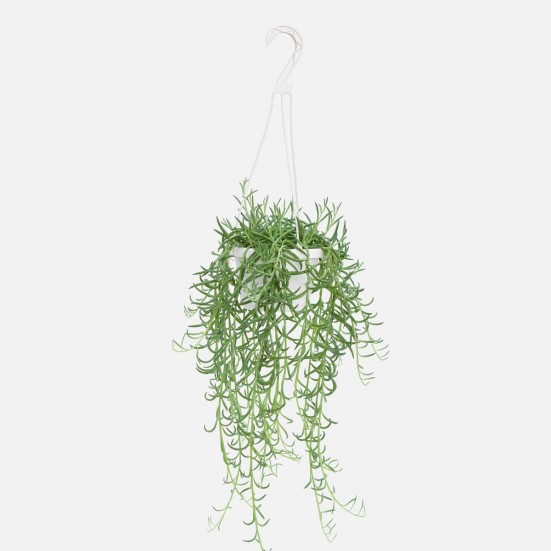 Hanging Fishhooks Plants