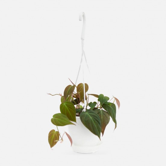 Hanging Philodendron Micans Plants