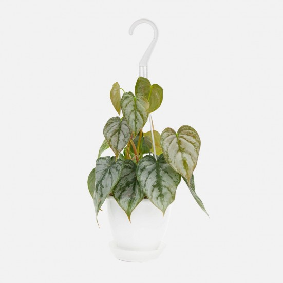 Hanging Philodendron Brandi Plants