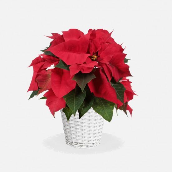 6.5'' Red Poinsettia in Wicker Basket Plants