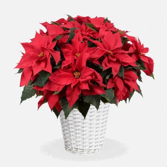 Jumbo Poinsettia in Wicker Basket - Plantshed.com