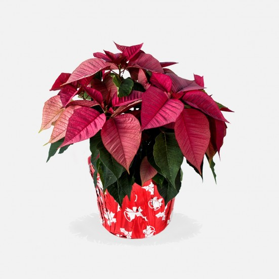 6.5'' Pink Poinsettia in Foil Plants