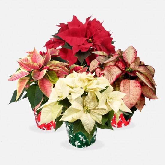 """6.5"""" Poinsettia Bundle - Plantshed.com"""