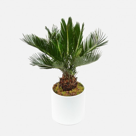 Sago Palm in Ceramic Congratulations