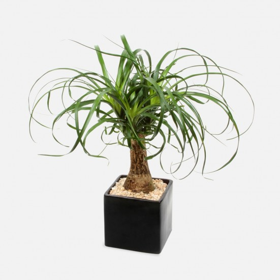 Ponytail Palm in Ceramic Plants