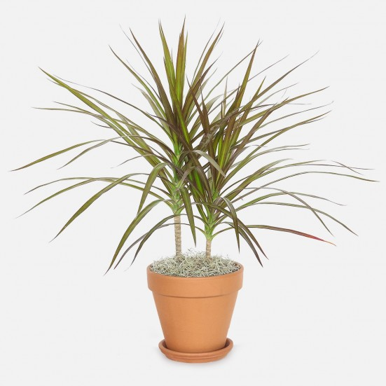 Dracaena Marginata - Medio Indoor Foliage Plants