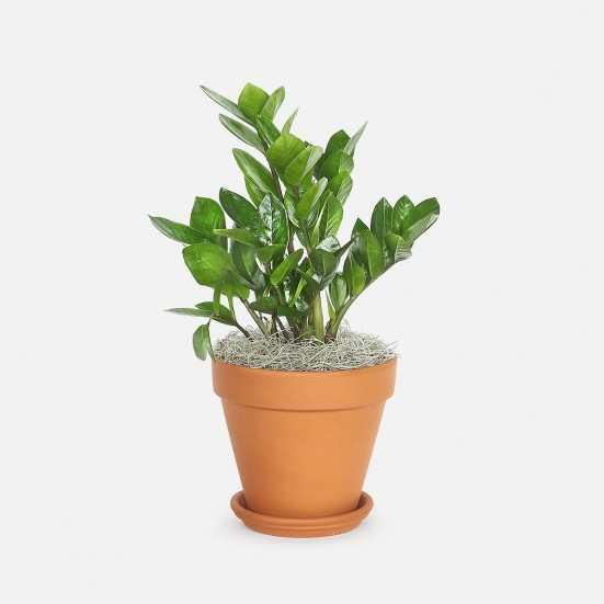 ZZ Plant - Medio Indoor Foliage Plants