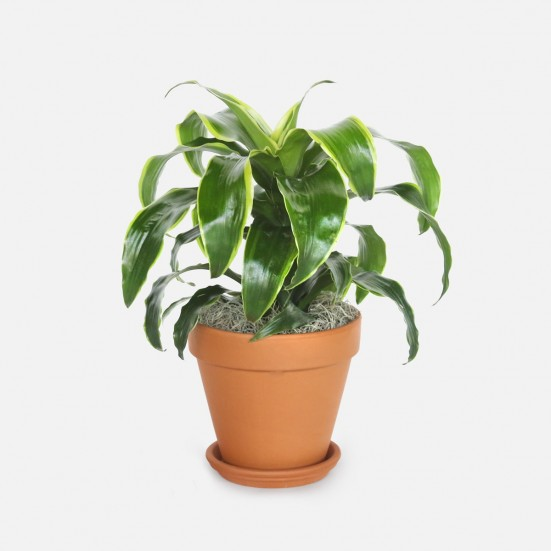 Dracaena Dorado - Medio New Jersey Plants