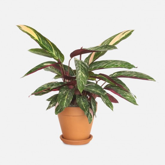 Triostar Stromanthe - Medio Indoor Foliage Plants