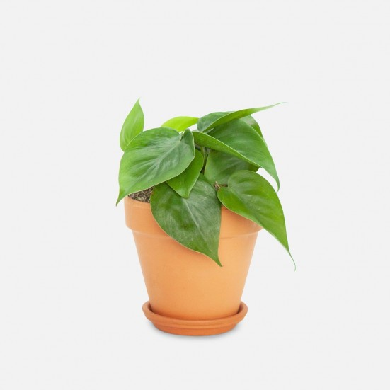 Philodendron Green - Piccolo Indoor Foliage Plants