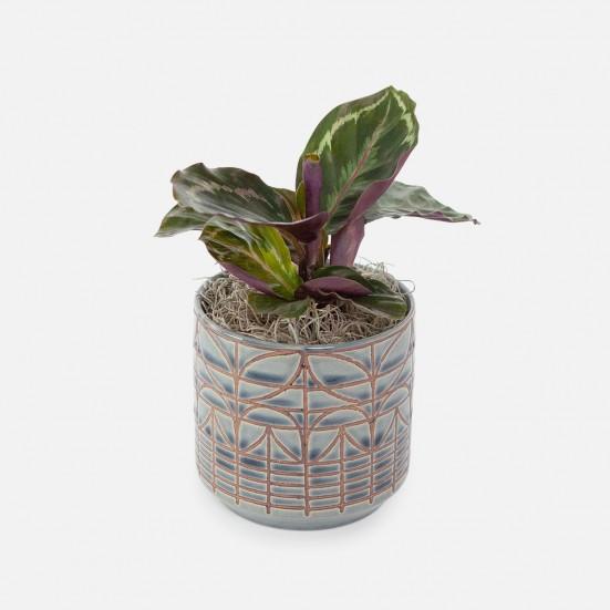 Calathea Roseopicta - Piccolo Indoor Foliage Plants