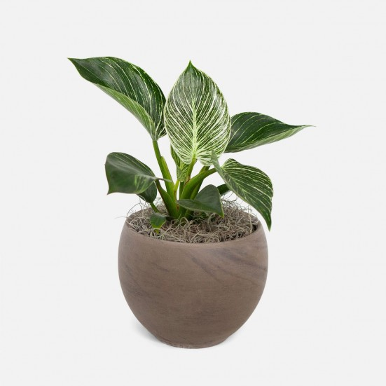 Philodendron Birkin - Medio New Jersey Plants