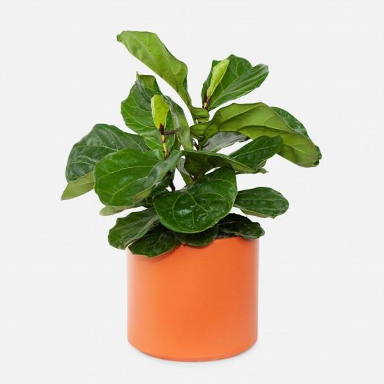 Ficus Lyrata Bush - Grande New Jersey Plants