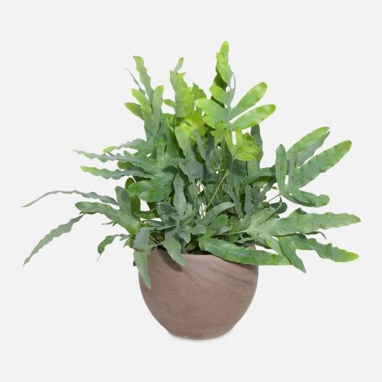 Blue Star Fern - Medio New Jersey Plants