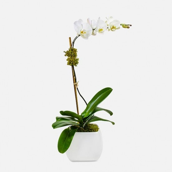 Classic 1-stem Phalaenopsis (ceramic) Birthday