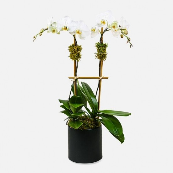 Classic 2-Stem Phalaenopsis (ceramic) Get Well