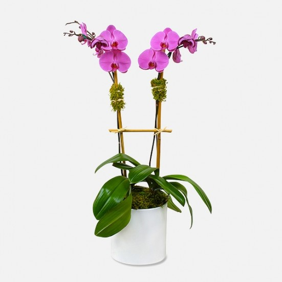 2-Stem Purple Phalaenopsis (ceramic) Love & Romance
