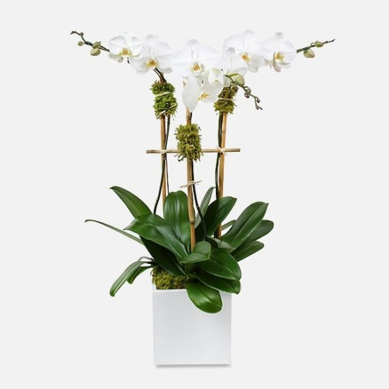 Classic 3-Stem Phalaenopsis (Ceramic) Get Well
