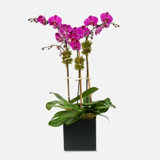 3-Stem Purple Phalaenopsis (Ceramic) Congratulations