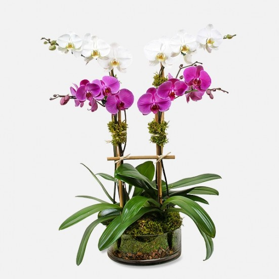 4-Stem Phalaenopsis (in glass) Indoor Blooming Plants