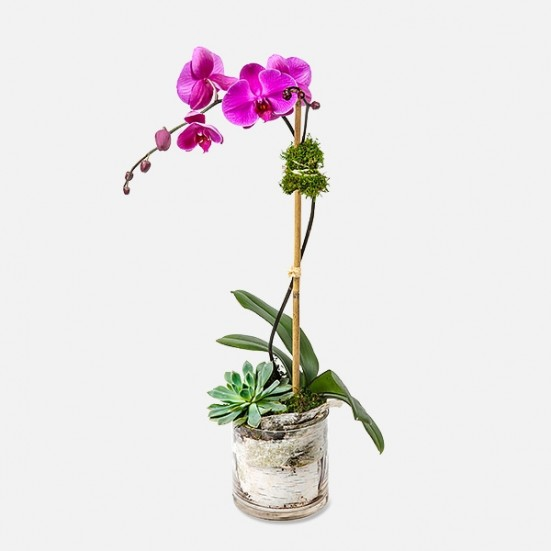Purple Phalaenopsis & Succulent (glass) Indoor Blooming Plants