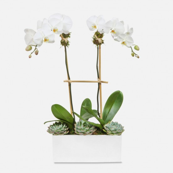 Desert Phalaenopsis Plants