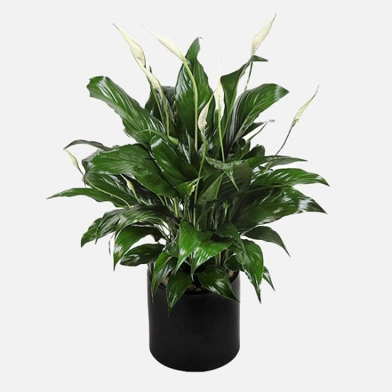 Manhattan Spathiphyllum Get Well