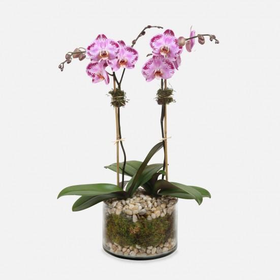 2-Stem Happy Dancer Phalaenopsis (glass) Birthday