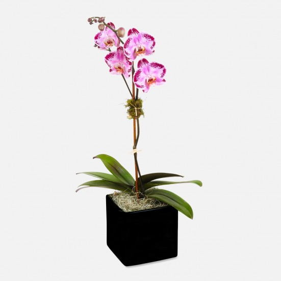 1-Stem Happy Dancer Phalaenopsis (ceramic) Just Because