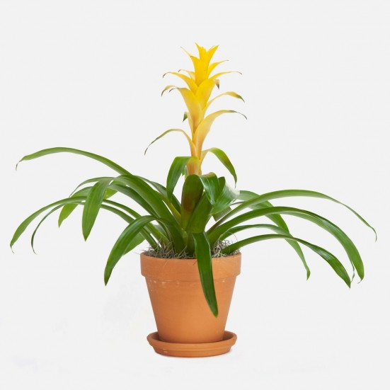 Yellow Bromeliad Guzmania Indoor Blooming Plants