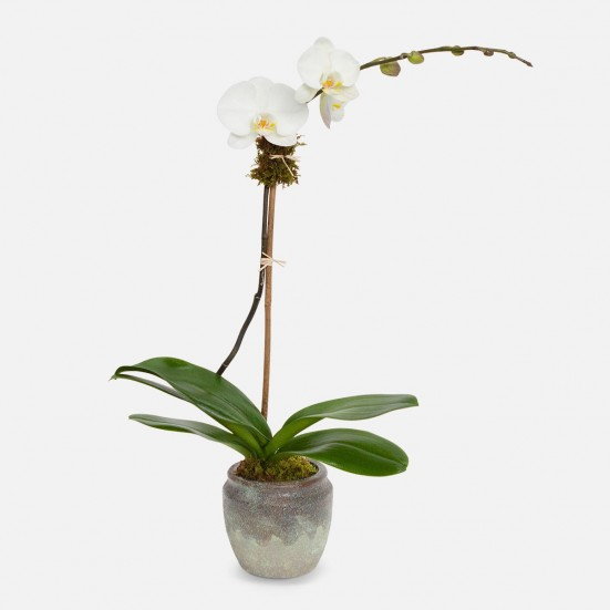 Earthy 1-Stem Phalaenopsis Plants