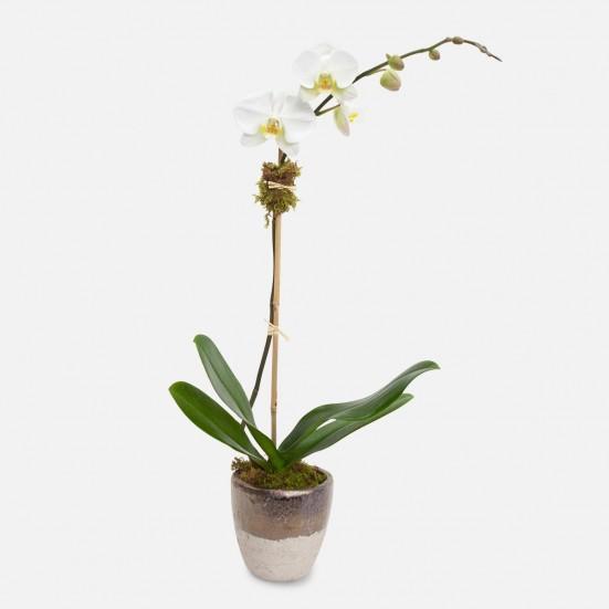 Muriel 1-Stem Phalaenopsis Plants
