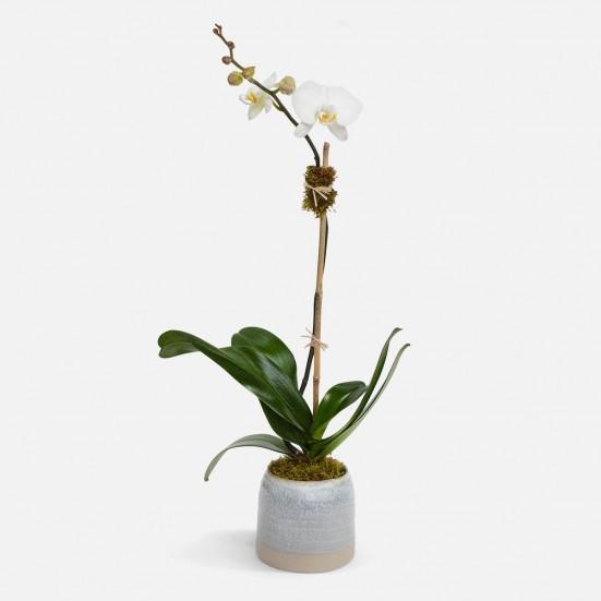 Marley 1-Stem Phalaenopsis Plants