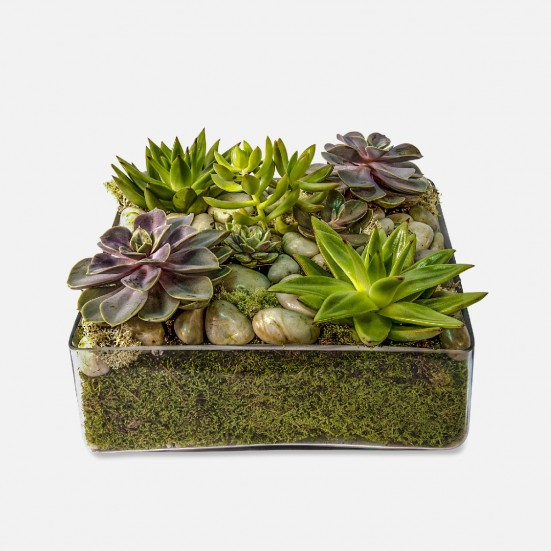 Succulent Tray Plants