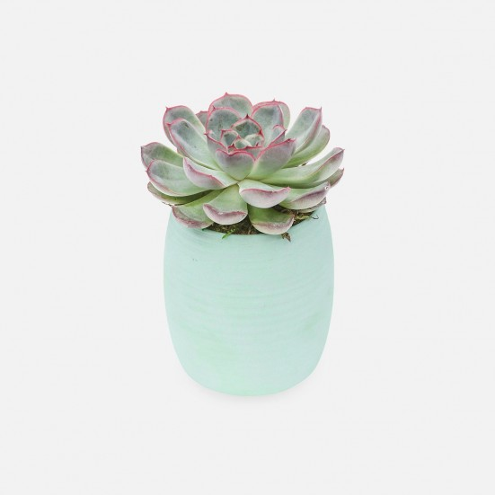Echeveria in Mint Ceramic Cup Spring Plant Collection