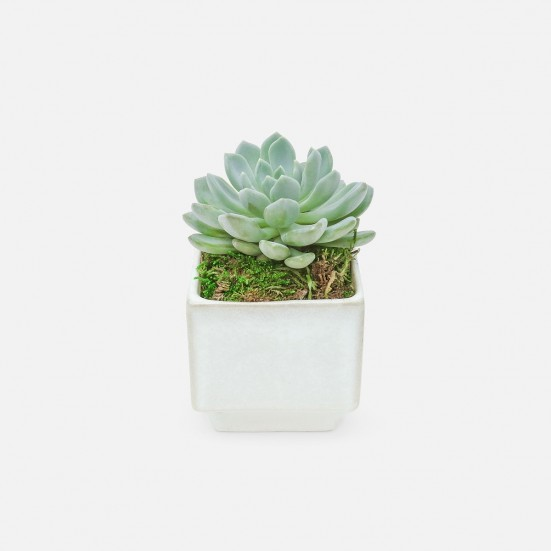 Succulent in Mini Verge Cube Cacti & Succulents