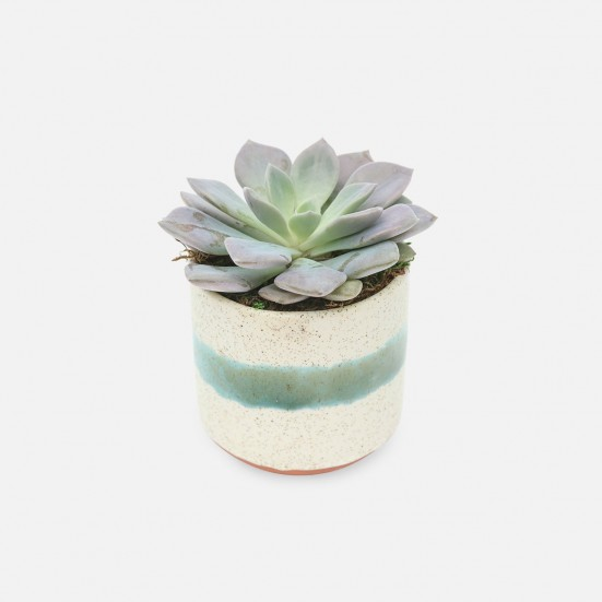 Succulent in Mini Mateo Pot Cacti & Succulents
