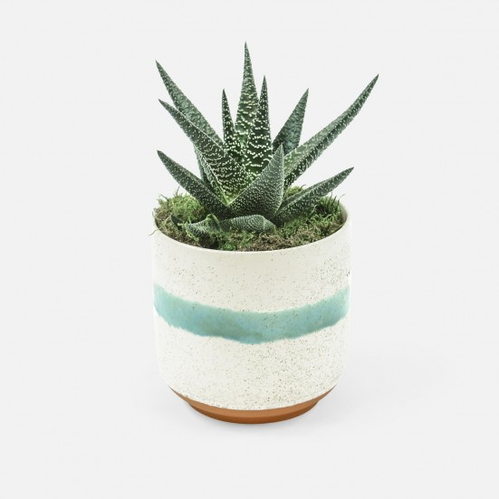 Haworthia in Large Mateo Pot Business Gifting
