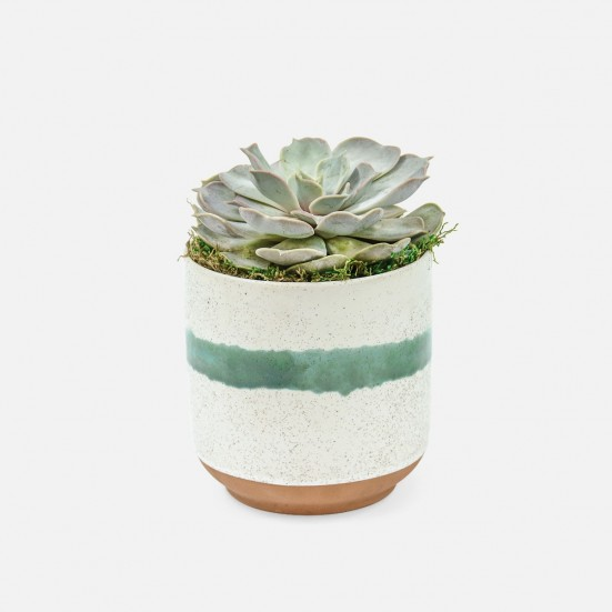 Echeveria in Large Mateo Pot Cacti & Succulents